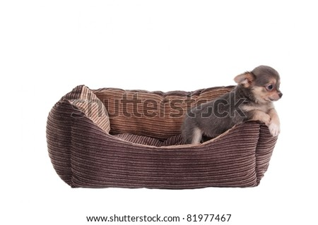 Chihuahua puppy playing in a brown cot isolated on white background - stock photo