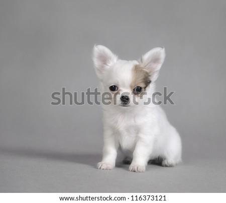 Chihuahua puppy portrait - stock photo