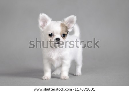 Chihuahua puppy portrait - stock photo