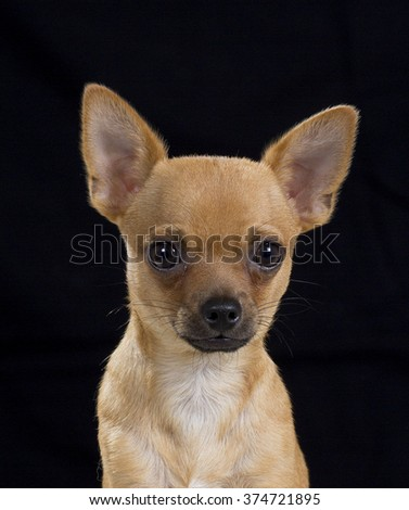 Chihuahua puppy portrait. Image taken in a studio with a black background. - stock photo
