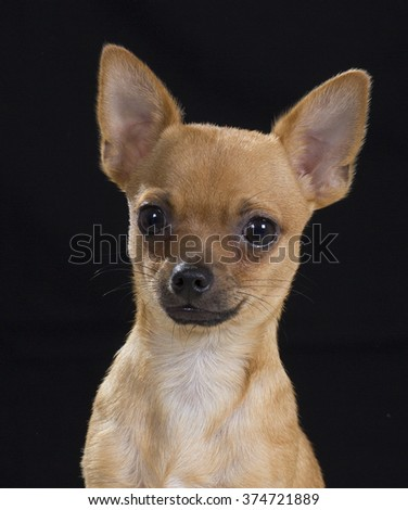 Chihuahua puppy portrait. Only the head is in this image. Image taken in a studio with a black background. - stock photo