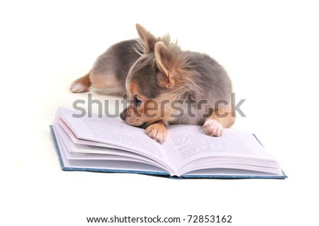 Chihuahua puppy reading a book isolated - stock photo