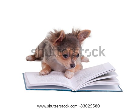 Chihuahua puppy reading a book, isolated on white background - stock photo