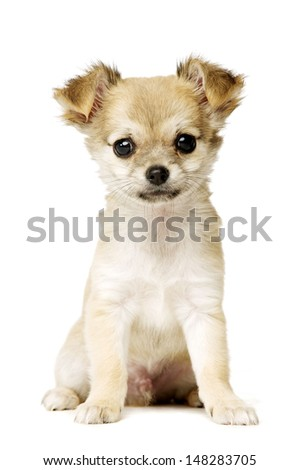 Chihuahua puppy sat facing the camera isolated on a white background