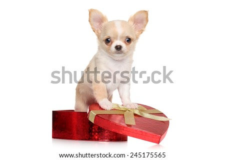 Chihuahua puppy sits in red heart gift box on white background - stock photo
