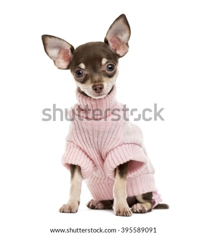 Chihuahua puppy sitting and looking at the camera, isolated on white - stock photo