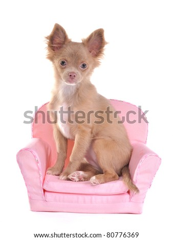 Chihuahua puppy sitting in a pink armchair, isolated on white background - stock photo