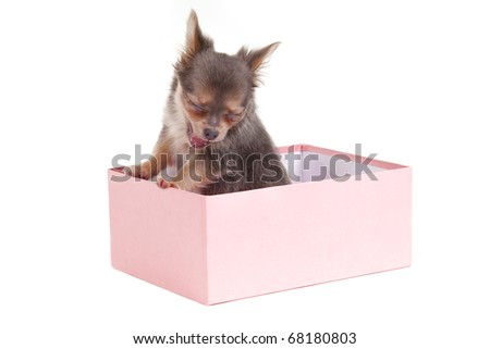 Chihuahua puppy sitting in a pink box is having a yawn - stock photo