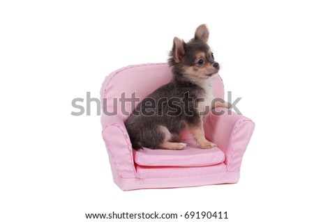 Chihuahua puppy sitting in comfortable armchair - stock photo