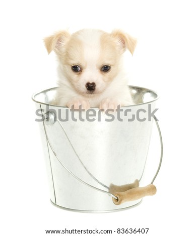 Chihuahua Puppy sitting inside of a silver, metal bucket waiting for a bath,  isolated over white.