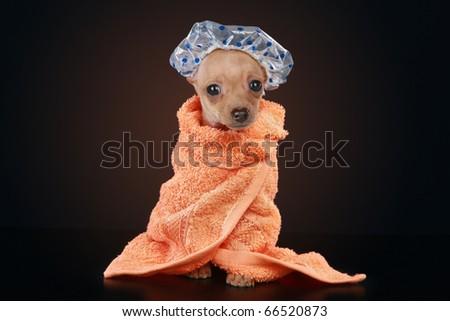 Chihuahua puppy sitting on dark background wearing orange bathrobe, a clear shower cap - stock photo