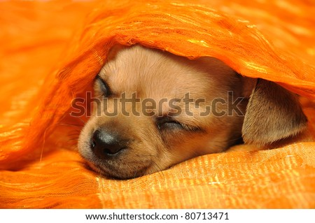 Chihuahua puppy sleeping under a bright orange blanket - stock photo