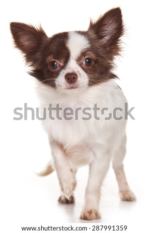 Chihuahua puppy standing and looking at the camera (isolated on white)
