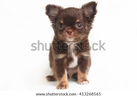 chihuahua puppy standing on a white background. - stock photo