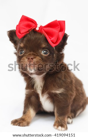 chihuahua  puppy standing on a white background.