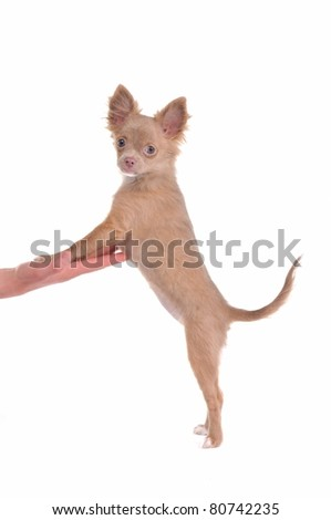 Chihuahua puppy standing on hind legs and steppind with its front legs on palm isolated on white - stock photo