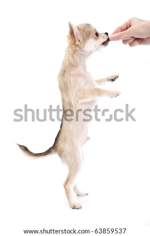 Chihuahua puppy standing on hind legs and taking a treat from the hand isolated on white