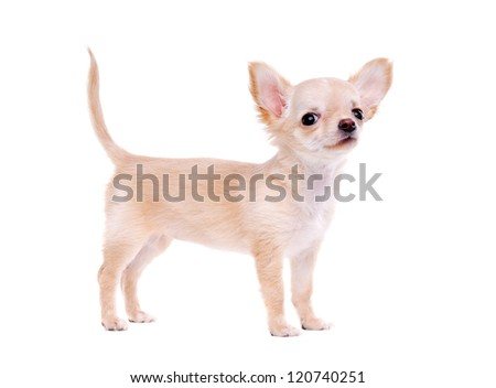 Chihuahua puppy standing on white background