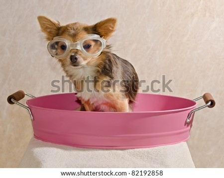 Chihuahua puppy taking a bath wearing goggles sitting in pink bathtub - stock photo