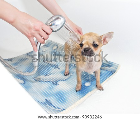 Chihuahua puppy taking shower in bathroom - stock photo