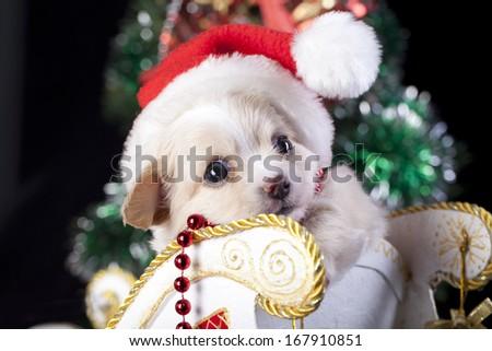 Chihuahua  puppy wearing a Santa hat - stock photo