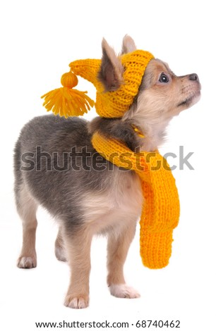 Chihuahua puppy wearing funny hat and scarf, isolated - stock photo