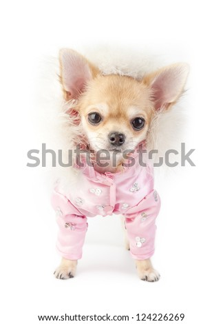 chihuahua puppy wearing glamorous pink jacket decorated with ostrich down and sequins - stock photo