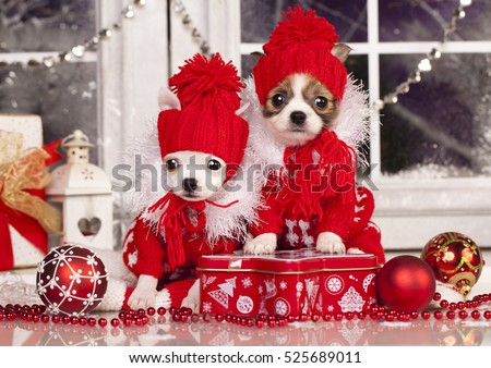 Chihuahua puppy wearing hat