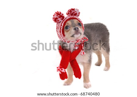 Chihuahua puppy wearing hat with funny pompoms, isolated