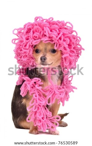 Chihuahua puppy wearing knitted curly pink hat and scarf against white background - stock photo