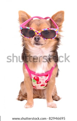 Chihuahua puppy wearing pink sun glasses and t-shirt isolated on white background - stock photo