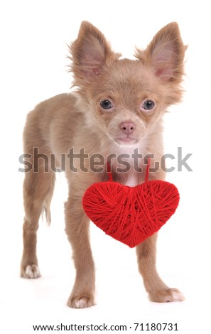 Chihuahua Puppy Wearing Red Valentine Heart Necklace - stock photo