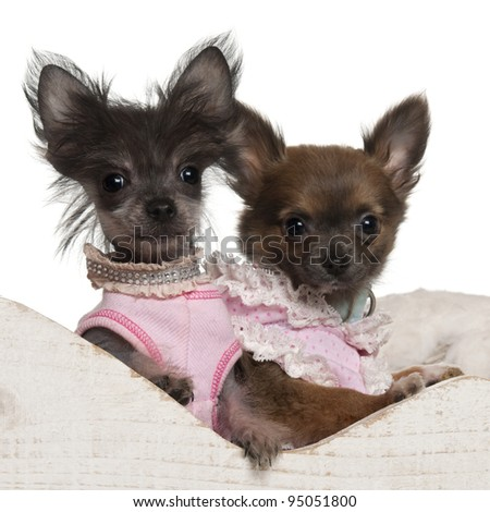 Chihuahua puppy, 12 weeks old, and Chinese Crested Dog puppy, 3 months old, in Christmas sleigh in front of white background