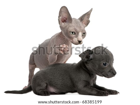 Chihuahua puppy, 10 weeks old, interacting with a Sphyx kitten, 8 weeks old, in front of white background - stock photo