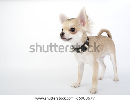 Chihuahua puppy with black leather collar with metal spikes standing on white background - stock photo