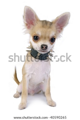 Chihuahua puppy with black leather collar with spikes isolated on white background - stock photo