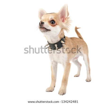 Chihuahua puppy with black leather studded collar isolated on white background - stock photo