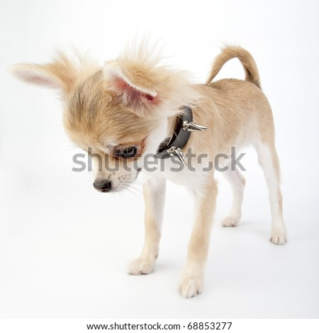 Chihuahua puppy with black leather studded collar looking down on white background - stock photo