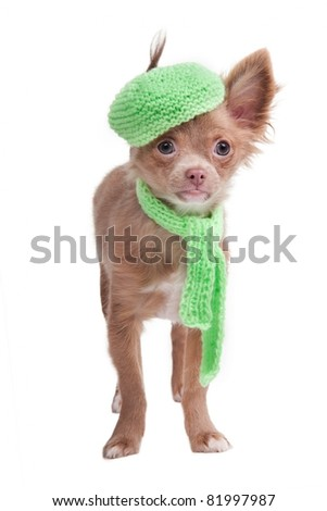 Chihuahua puppy with french cap and scarf - stock photo