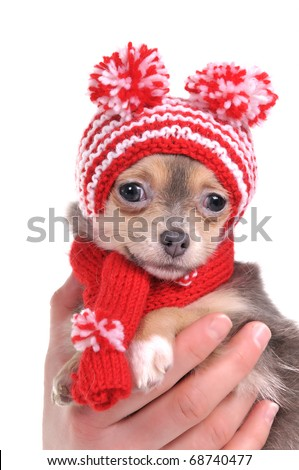 Chihuahua puppy with funny hat with two pompoms - stock photo