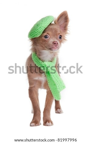 Chihuahua puppy with green beret and scarf isolated on white background - stock photo
