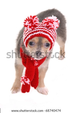 Chihuahua puppy with hat with funny pompoms isolated on white background