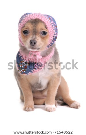 Chihuahua Puppy With Jeans Scarf and Hat Looking At Camera Isolated On White Background
