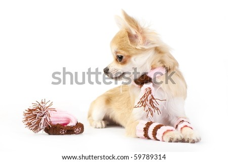 chihuahua puppy with knitted hat, scarf and striped socks on white - stock photo