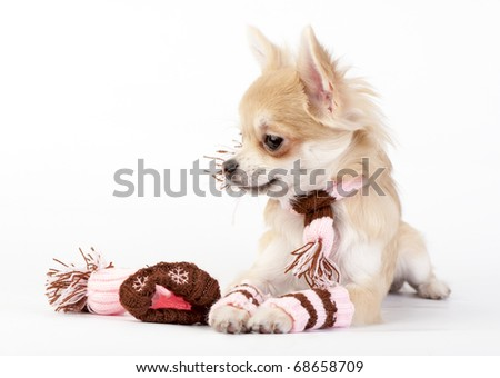 chihuahua puppy with knitted winter striped socks,  scarf and hat lying  on white - stock photo