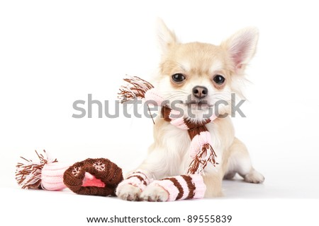 chihuahua puppy with knitted winter striped socks, scarf and hat lying on white background - stock photo
