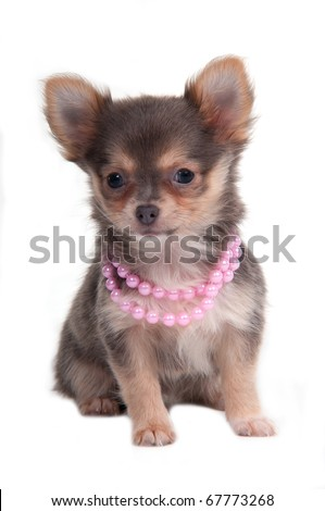 Chihuahua puppy with pink necklace - stock photo