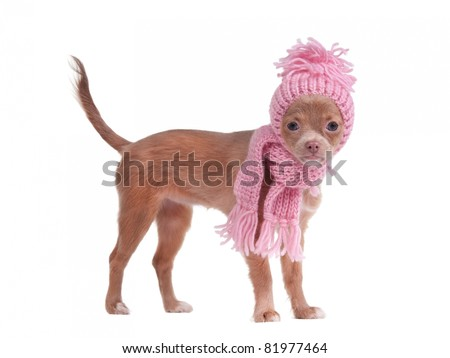 Chihuahua puppy with pink scarf and hat looking aside - stock photo