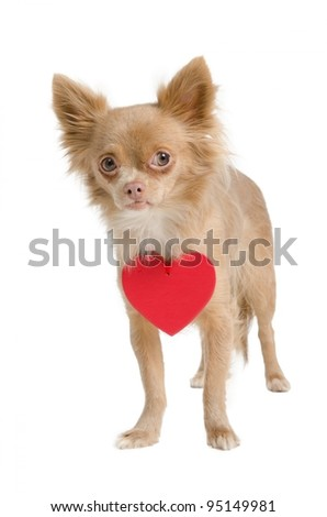 Chihuahua puppy with red heart valentine necklace - stock photo