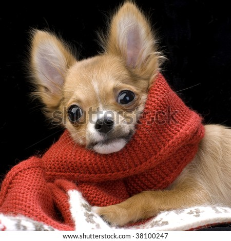chihuahua puppy with red scarf - stock photo